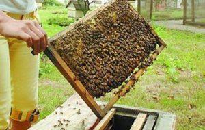 ویژگی های یک نژاد خوب زنبور عسل